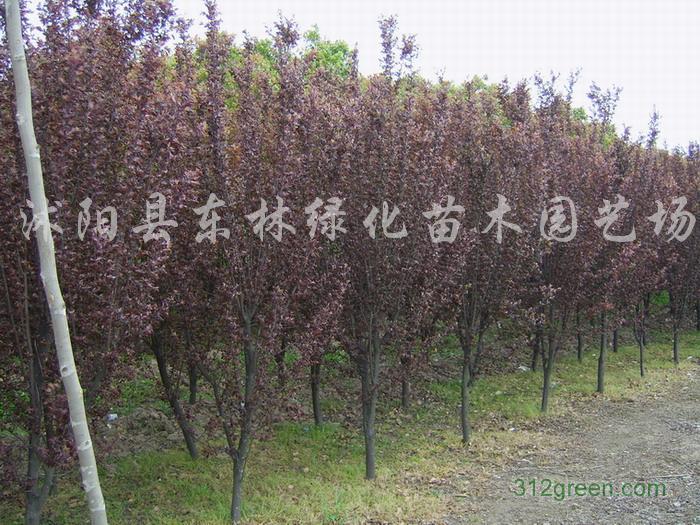 供应法桐、樱花、栾树、雪松、红枫、红叶李、紫薇