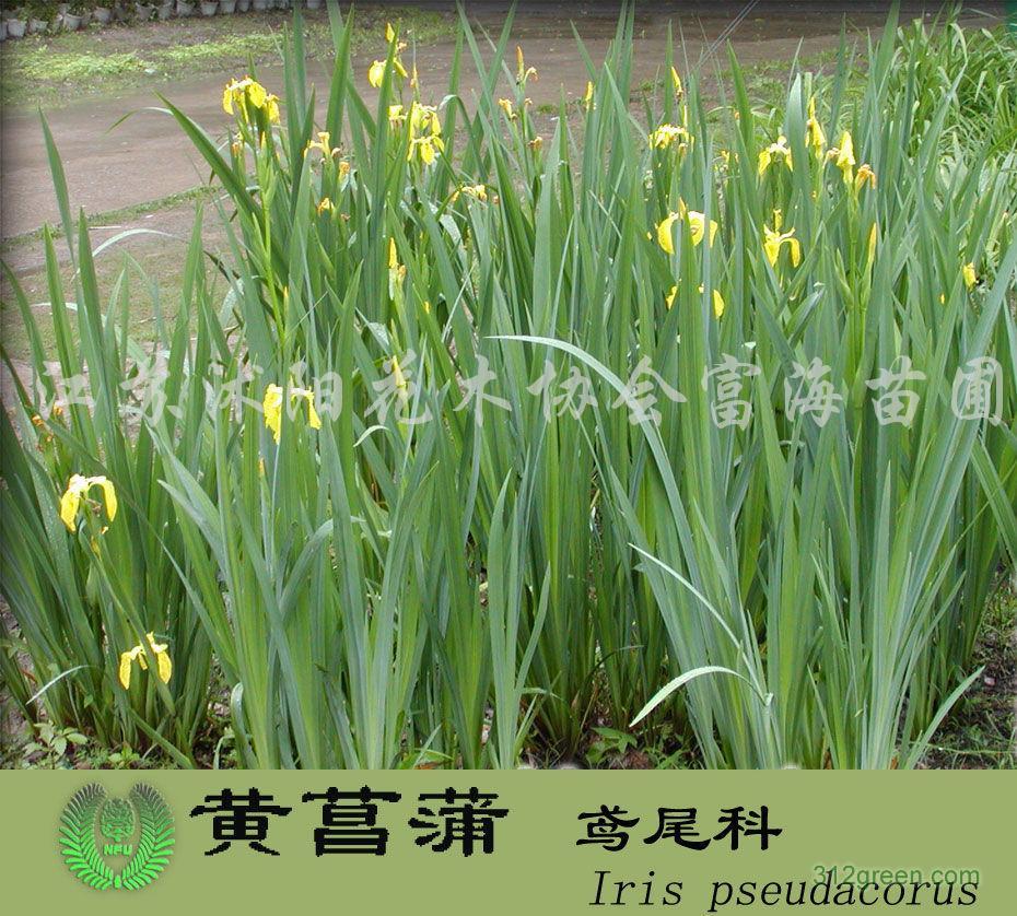 供应红花石蒜、再力花、水生鸢尾、水生美人蕉、芦苇