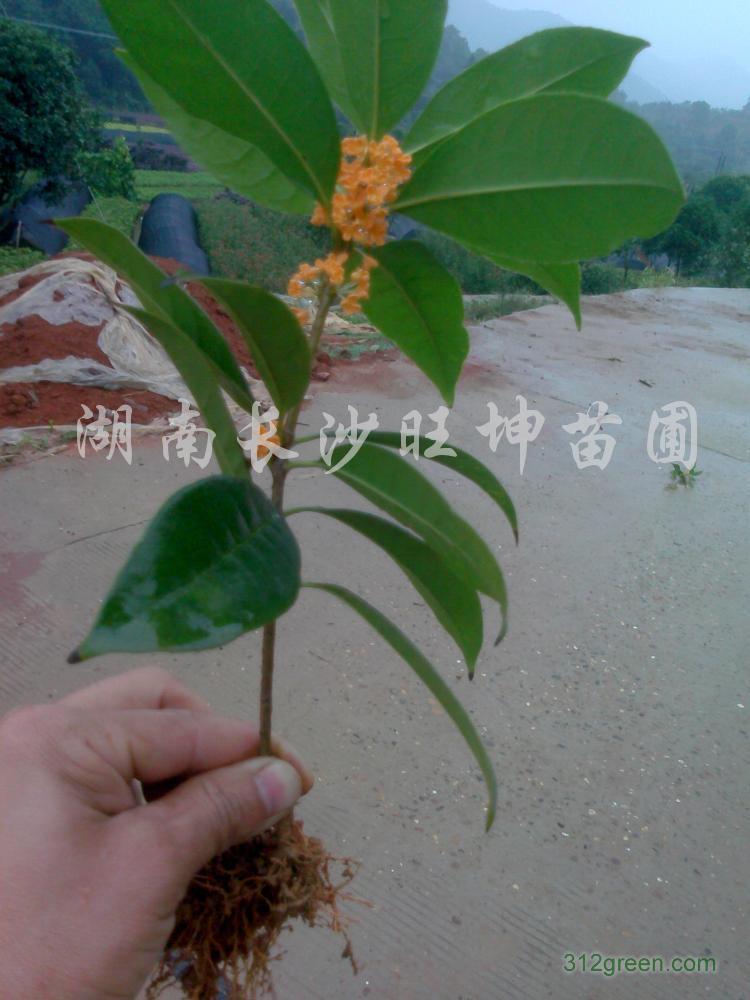 供应火红丹桂小苗