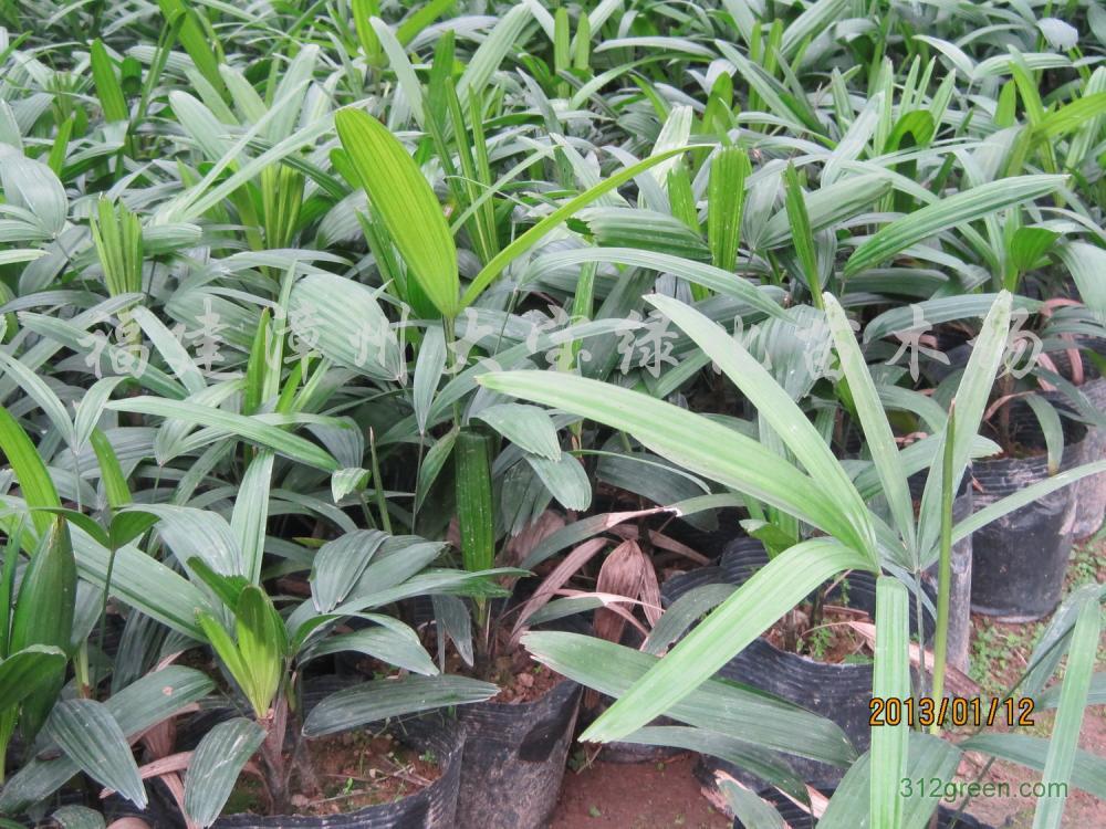 供应大叶棕竹袋苗