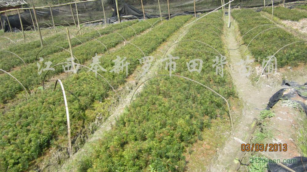 供应红豆杉、桂花、香樟、杜英等小苗