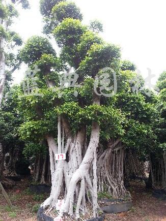 供应景观榕树、造型榕、小叶榕