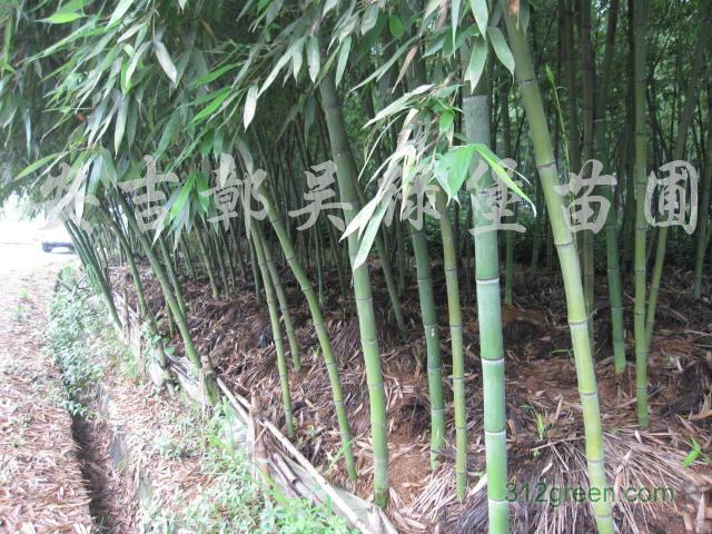 供应象牙竹、白哺鸡竹