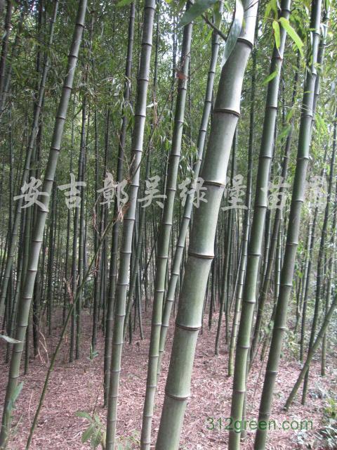 供应高节竹