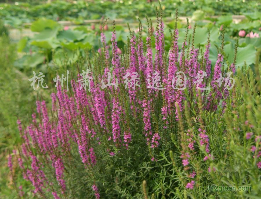 供应千屈菜、芦苇、梭鱼草、海寿花、水葱等各种水生植物