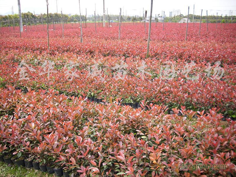 供应红叶石楠、红花继木、金森女贞、小叶女贞等