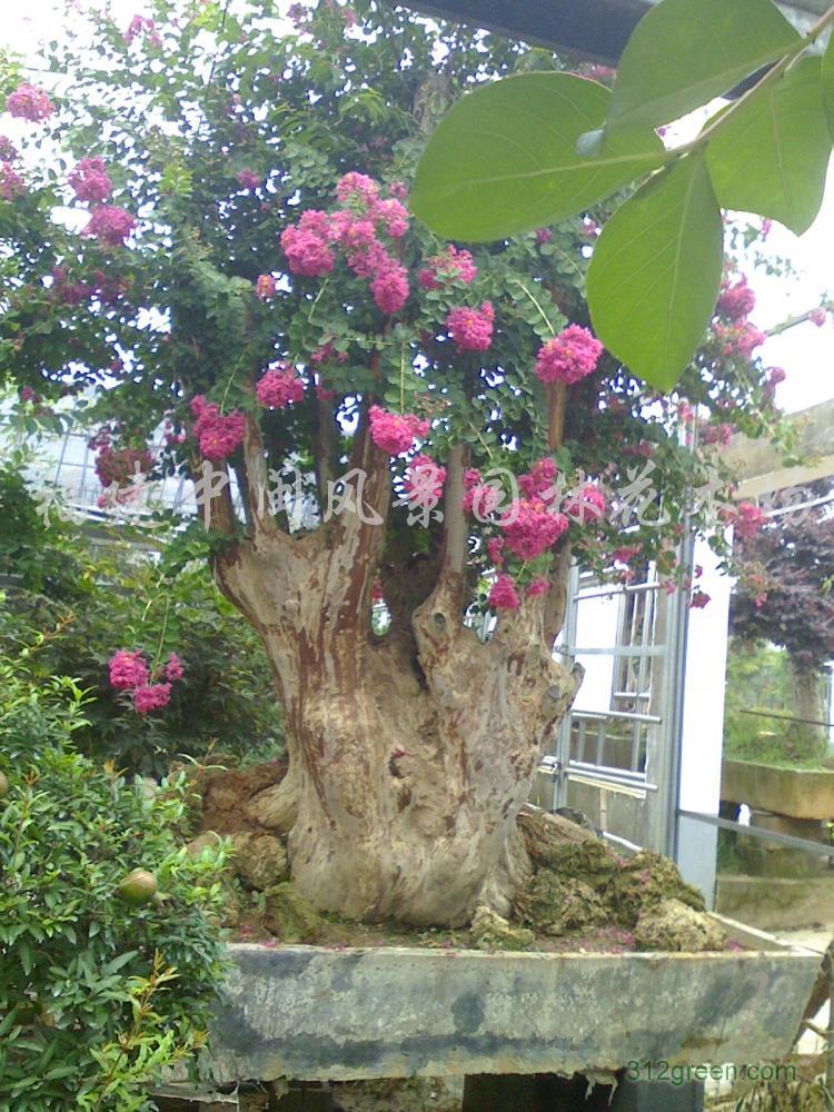 供应紫薇、红花树桩盆景头径30-1、2米、单杆绿化树