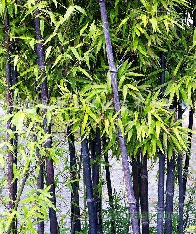 供应金镶玉竹、紫竹、早园竹、青竹等