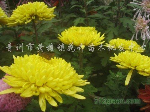 供应菊花、国庆菊、千头菊、翠菊、羽衣甘蓝