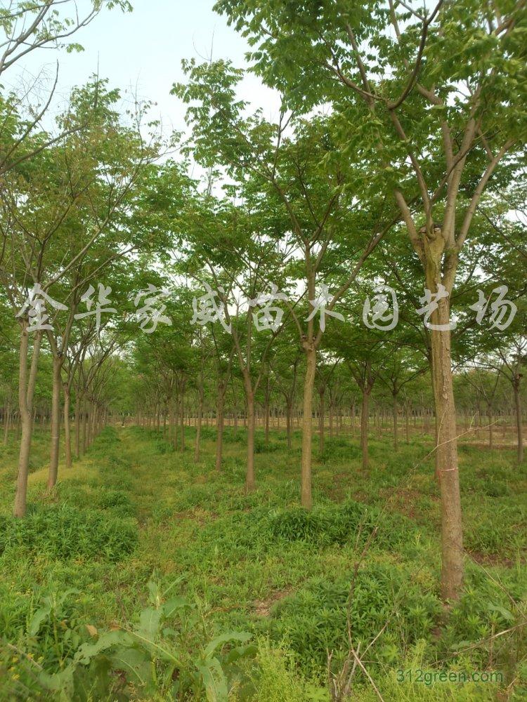 供应黄山栾树圃地苗米径8-15公分