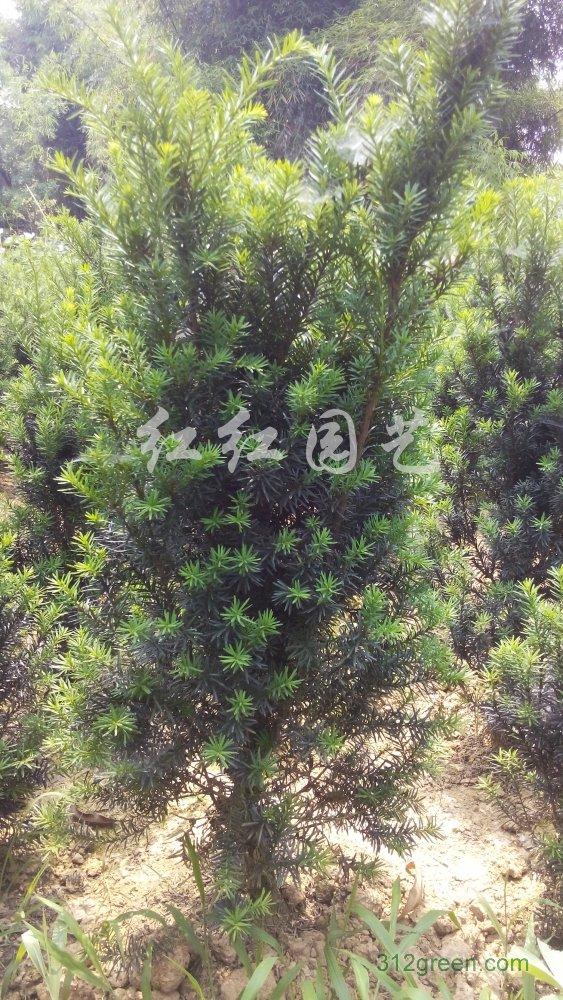 供应曼地亚红豆杉1米高