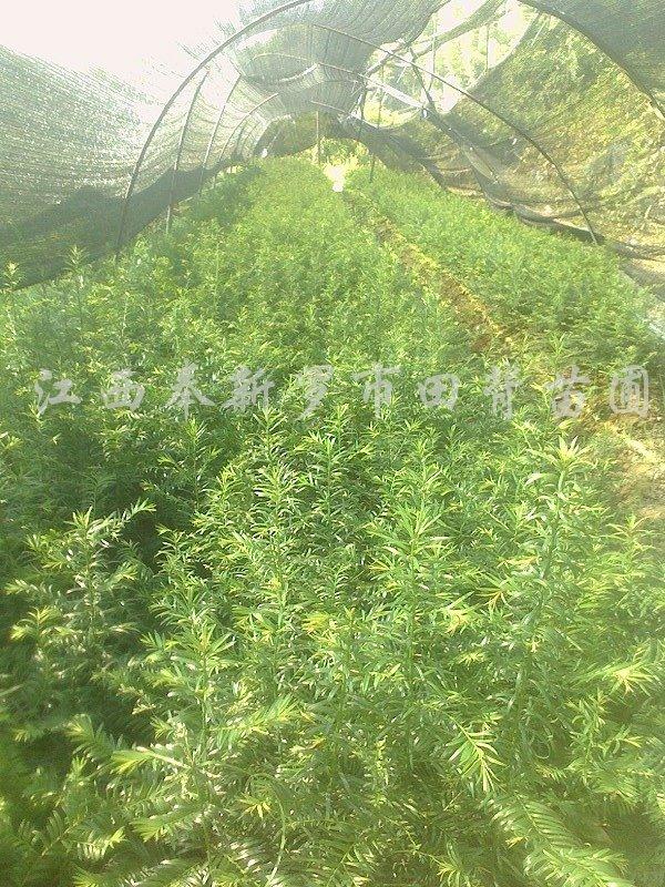 供应青钱柳小苗、湿地松营养杯苗