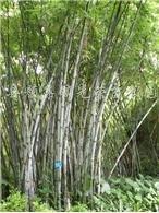 供应紫竹、淡竹、箬竹、刚竹、佛肚竹等