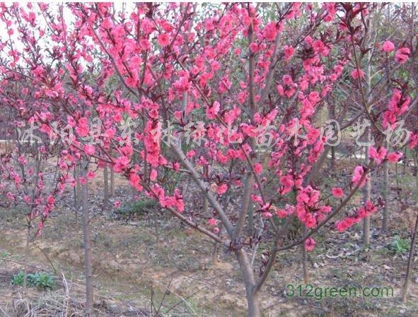 供应紫叶桃、大叶女贞、樱花、黄金槐、桂花、合欢