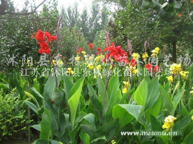 供应马尼垃、鸢尾、萱草、玉簪、葱兰、红花草