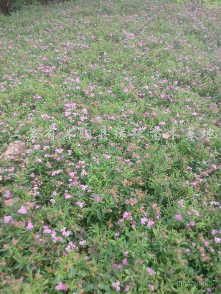供应五色梅、铺地马鞭草、铺地锦