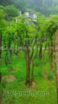 供应映山红树桩、白花继木树桩、榔榆、苦丁茶