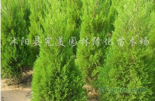 供应各种规格工程绿化苗木