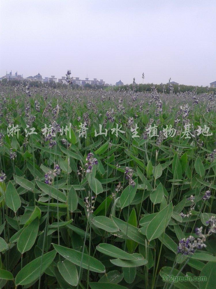 供应黄菖蒲、千屈菜、再力花、美人蕉、梭鱼草等水生植物