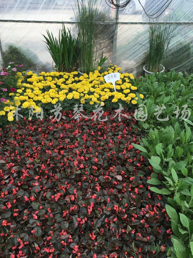 供应牵牛花、三色堇、孔雀草、金鸡菊、波斯菊、一串红