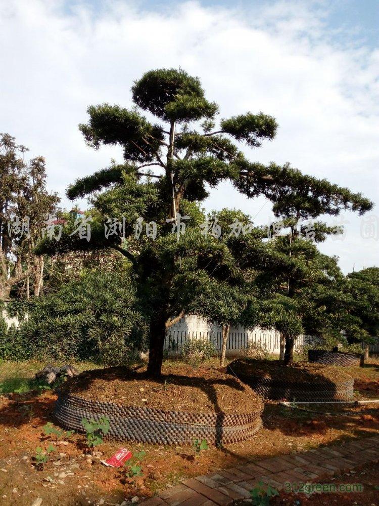 供应茶花盆景、红继木桩、造型罗汉松
