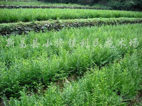 供应南方红豆杉小苗