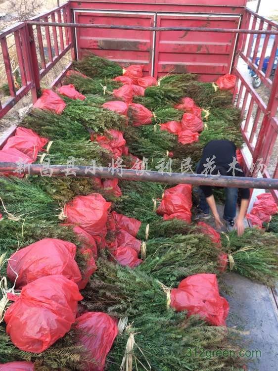 供应红豆杉小苗