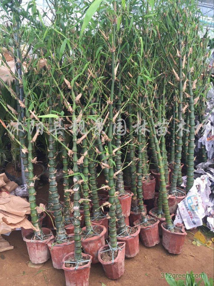 供应佛肚竹5公分粗、佛肚竹1.5米高