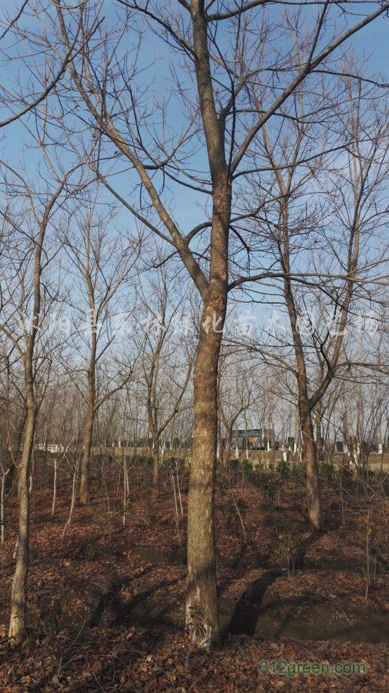 供应重阳木、垂柳、榉树、大叶女贞、樱花、枫香、红叶李