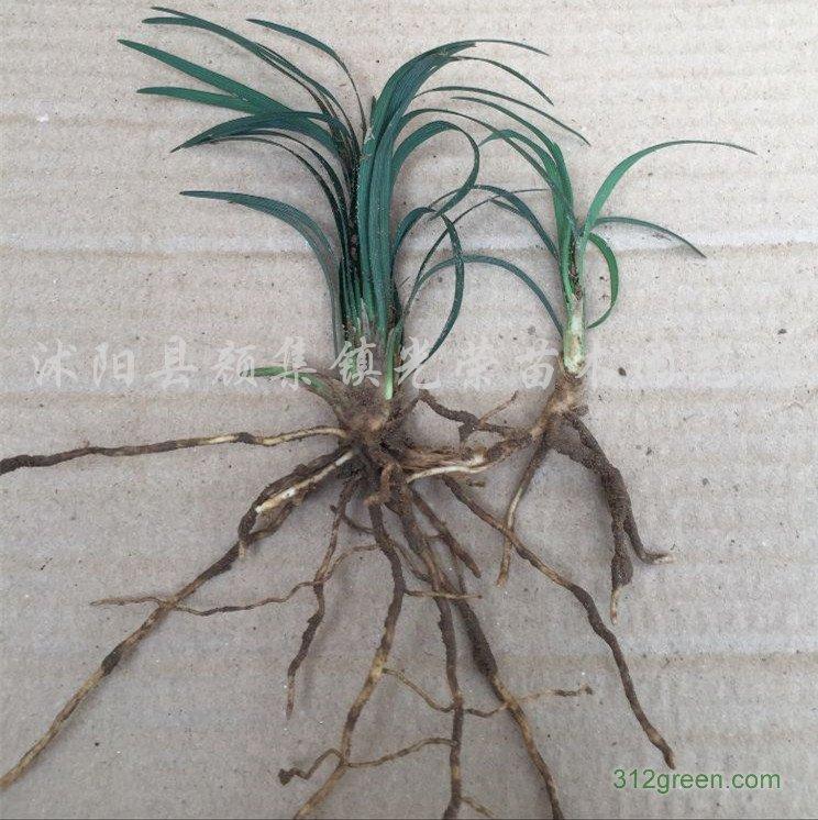 供应日本矮麦冬、细叶麦东、中叶麦冬、金边麦冬
