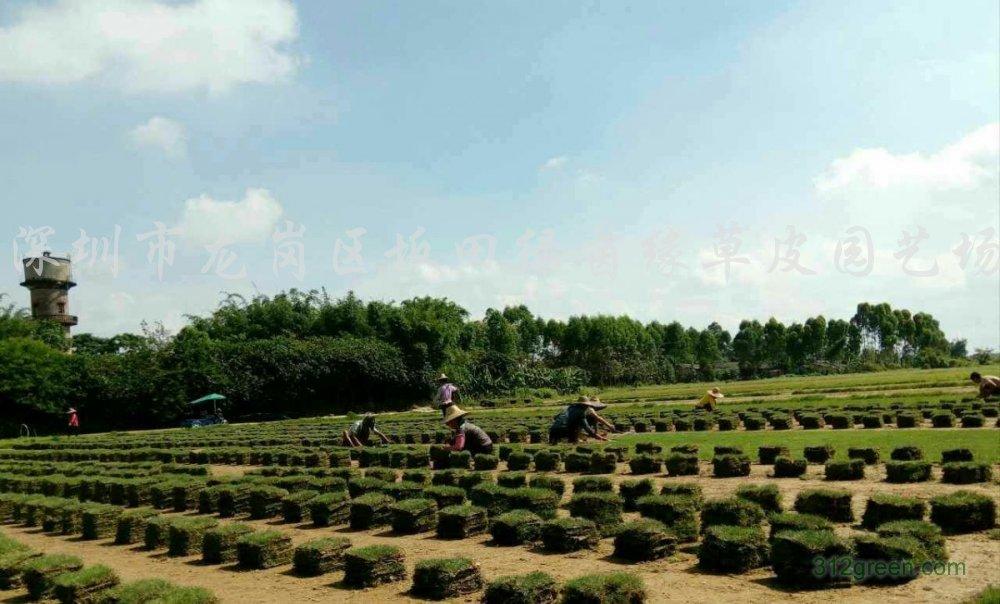 供应马尼拉草皮、草卷
