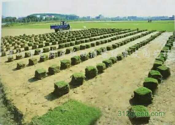 供应台湾草皮、草卷