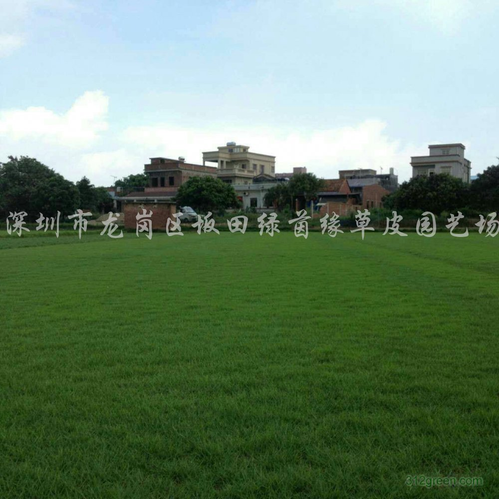 供应马尼拉草坪、台湾草坪、大叶油草坪