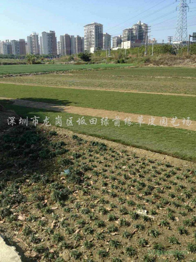 供应大叶油草皮、玉龙草、马尼拉草皮、台湾草皮