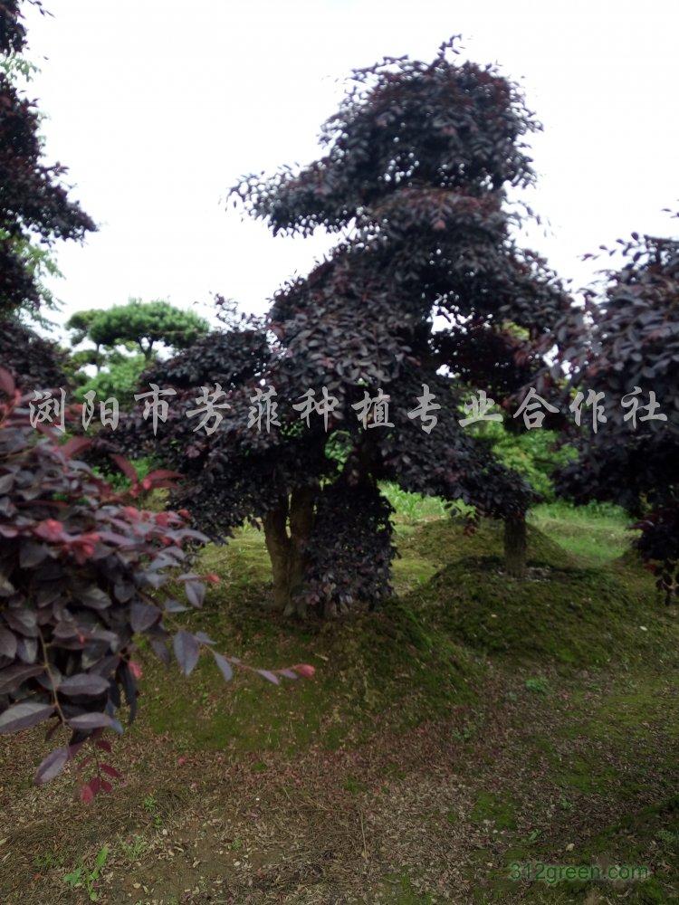 供应红继木桩、榆树桩景、杜英桩景、嫁接樱花、桂花树
