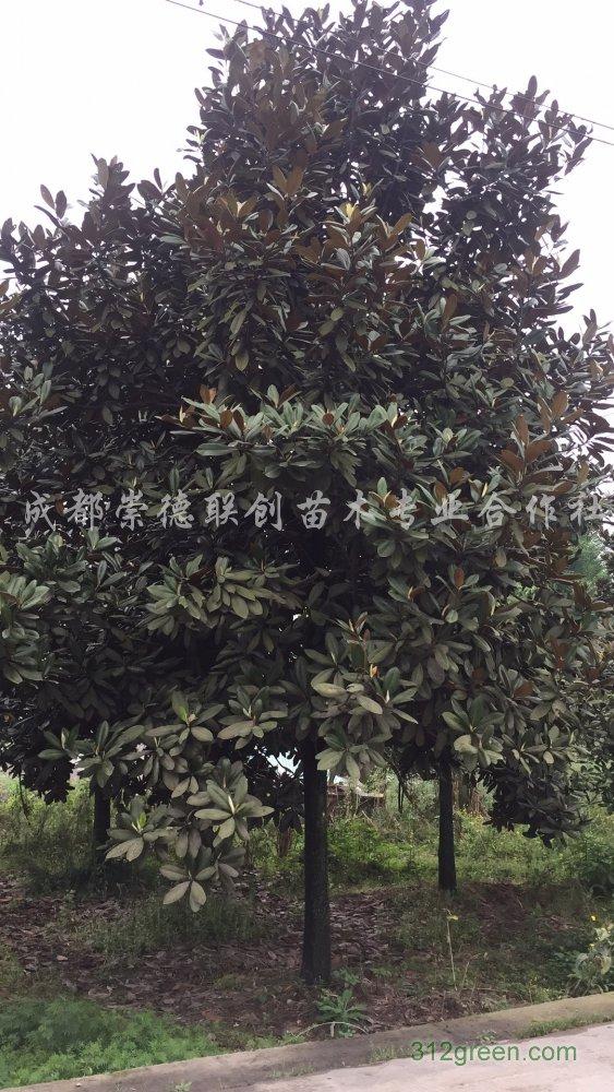 供应精品广玉兰8-25公分