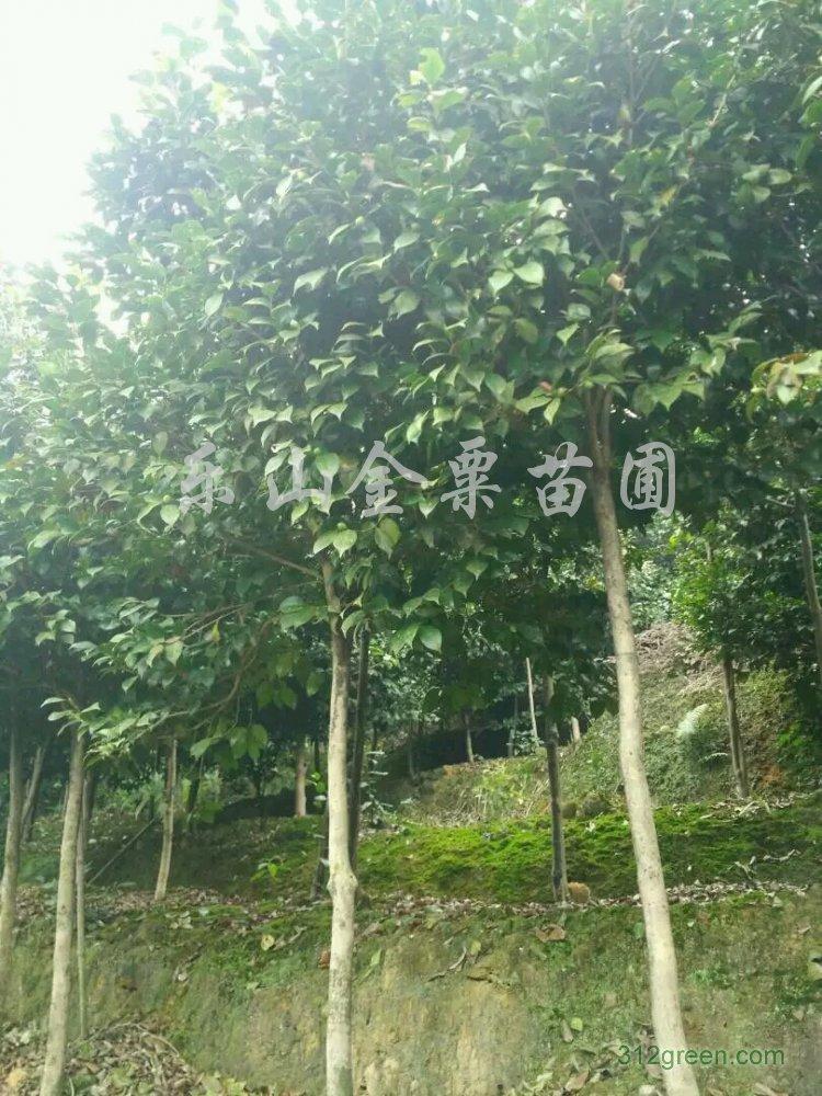 供应米径5公分高杆山茶花