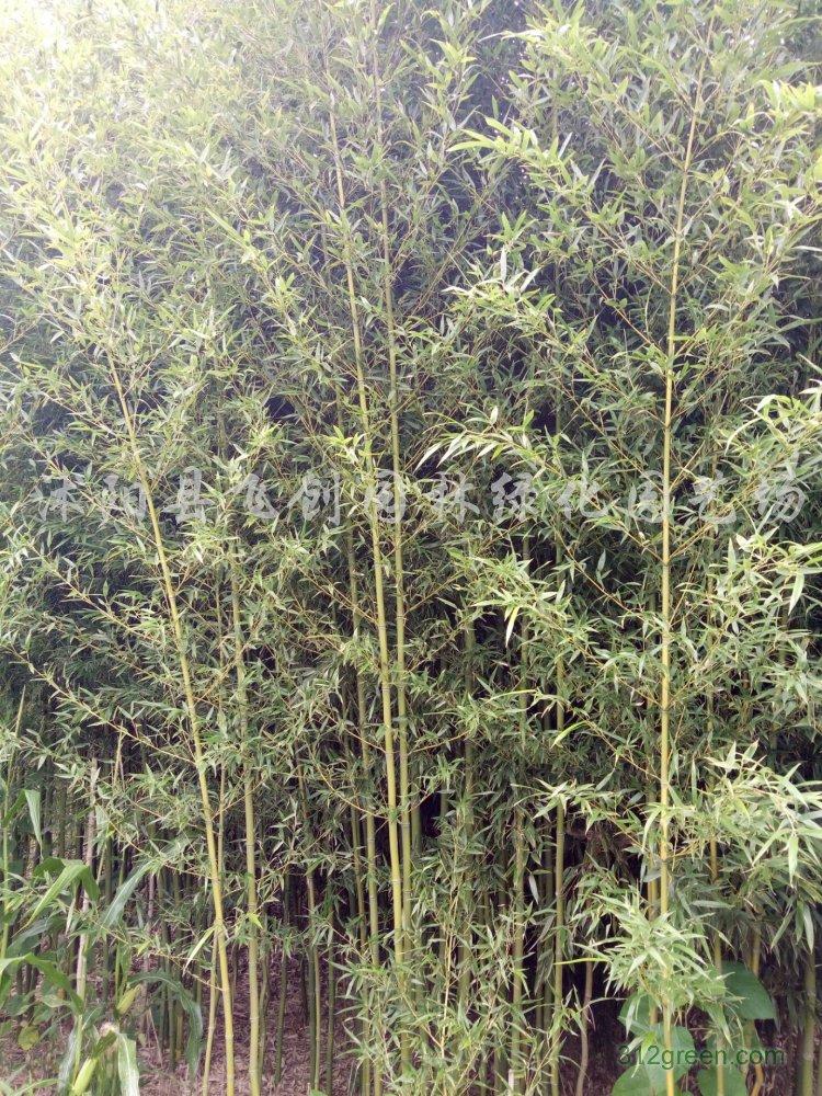 供应早园竹、淡竹、刚竹、金镶玉竹、紫竹、箬竹等