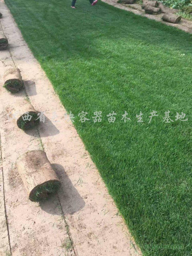 供应矮生百慕大草坪、马尼拉草坪、果岭草、台湾青草坪