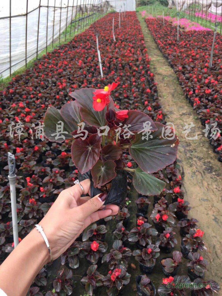 供应四季秋海棠、蓝花鼠尾草、凤仙、三色堇