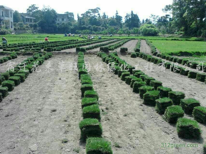 供应各种品种草坪