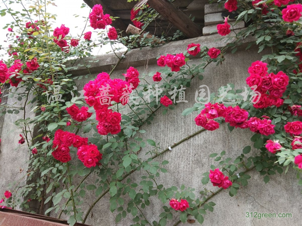 供应各类蔷薇、月季