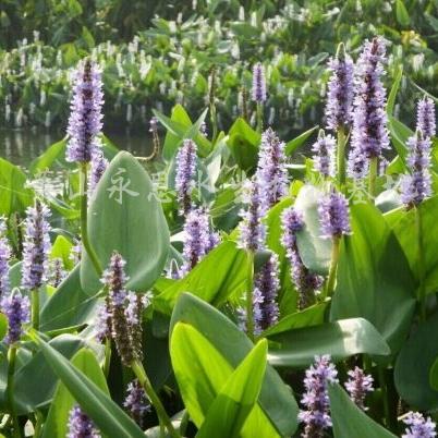 供应鸢尾、黄菖蒲、再力花、花叶芦竹、美人蕉、千屈菜
