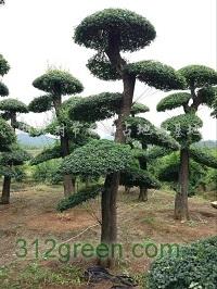 供应对节白蜡造型树