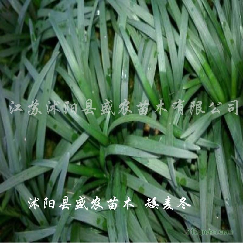 供应麦冬草、细叶麦冬、矮麦冬、金边麦冬
