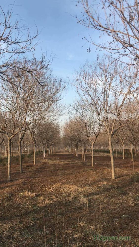 供应北京栾树、黄山栾树