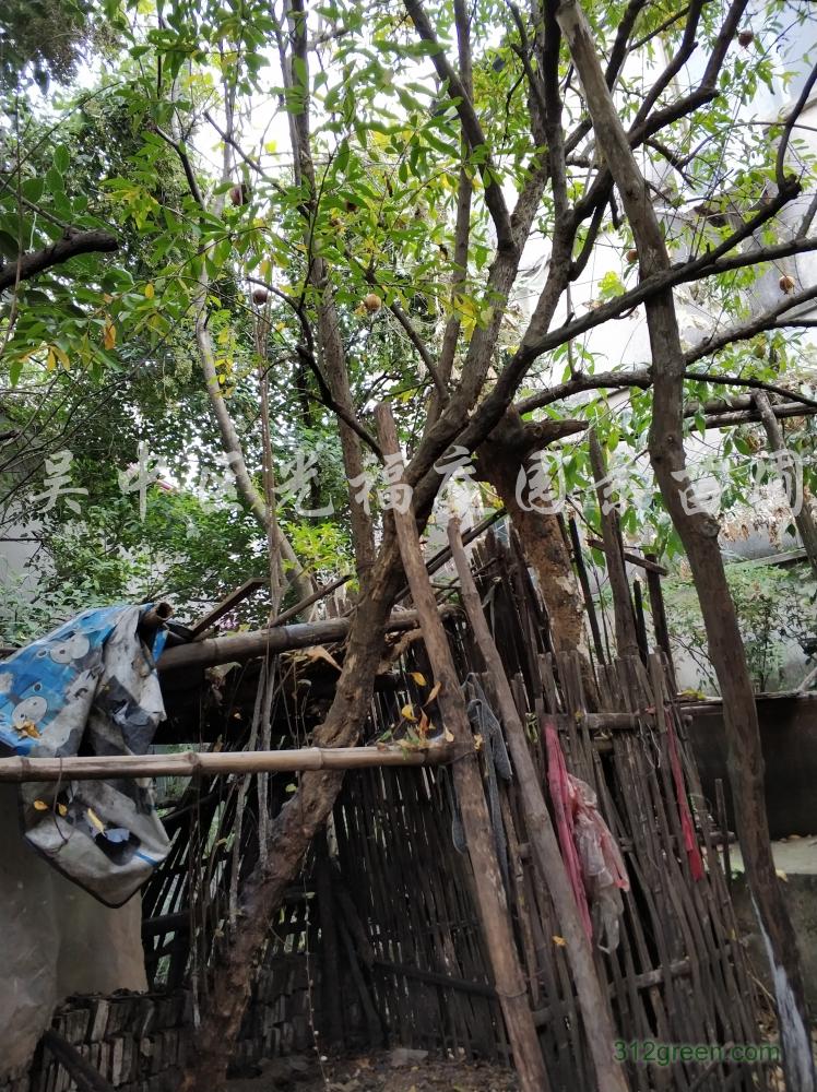 供应景观绿化苗木