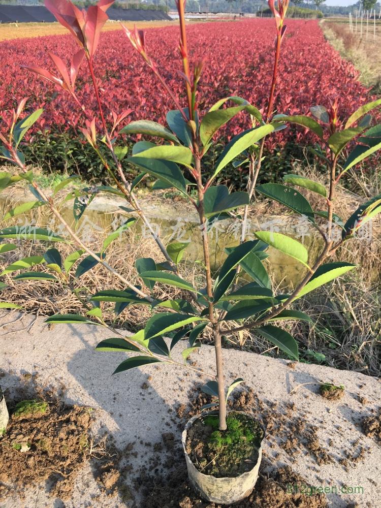 供应红叶石楠、金森女贞、红花继木、茶梅、杜鹃花、栀子