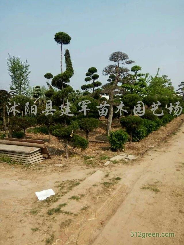 供应各种龙柏造型树、小叶女贞造、松柏、黄杨造型树