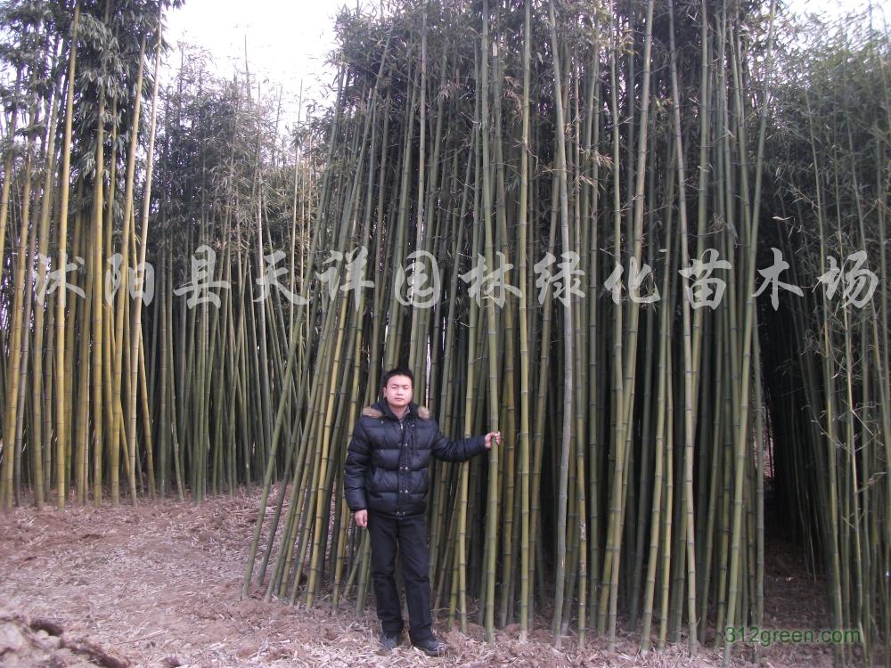 供应早园竹、刚竹、淡竹、金镶玉竹、观音竹